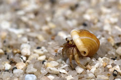 Hermit Crab. Crawling on the beach gravels Royalty Free Stock Images