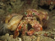 Hermit crab Royalty Free Stock Photo