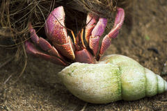 Hermit Crab. A picture of a hermit crab on a coconut Stock Image