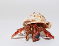 Free Hermit Crab Royalty Free Stock Photo - 42757245