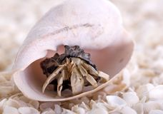 Hermit Crab. Coming out of large sea shell Royalty Free Stock Photo