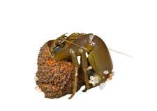 Hermit crab 9 Royalty Free Stock Photos