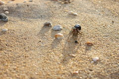 Hermit crab on Andaman beach,Thailand Royalty Free Stock Photos