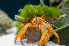 Hermit crab in the aquarium. Royalty Free Stock Photography