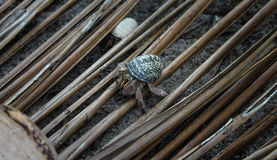 Hermit Crab 4 Royalty Free Stock Images