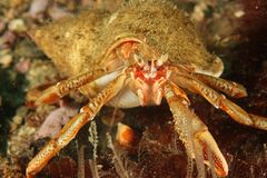 Hermit crab - Bay of Brest, Britanny, France. Pciture taken underwater in the Bay of Brest, Finistère, Brittany (Bretagne), France Royalty Free Stock Photography