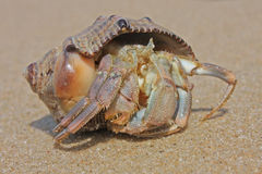 Hermit crab on the beach. In Varkala, India Stock Photos