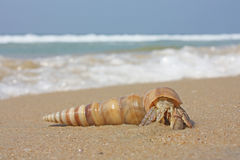 Hermit crab on the beach. In Varkala, India Royalty Free Stock Photo