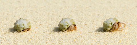 Hermit crab on beach. Showing stages as it emerges from shell Stock Photography