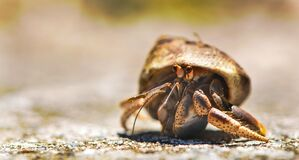 Hermit crab on beach Royalty Free Stock Images