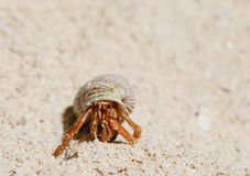 Hermit Crab on a beach Royalty Free Stock Photo