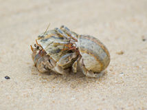 Hermit Crab on a beach. In Andaman Sea Royalty Free Stock Image