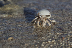 Hermit crab on the beach. Close-up of hermit crab on the beach, Marsa Alam, Egypt Stock Image