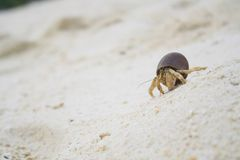 Hermit crab On the beach. In island Royalty Free Stock Photos