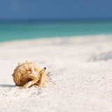Hermit crab at beach. Hermit crab on beach at Maldives Stock Images