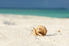 Hermit crab at beach Royalty Free Stock Image