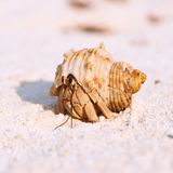 Hermit crab at beach. Hermit crab on beach at Maldives Royalty Free Stock Images