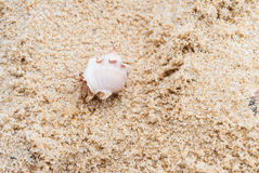 Hermit crab on the beach. Stock Photography