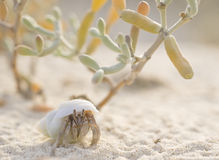 Hermit crab on the beach with a plant Royalty Free Stock Image