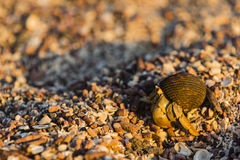 A Hermit Crab on the beach Stock Photo