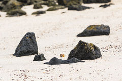 A Hermit Crab on the beach. At San Cristobal, Galapagos Royalty Free Stock Photo