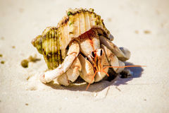 Hermit Crab. A beach scene from Meedhupparu in the Maldives Stock Image