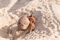 Hermit crab on the beach Stock Photography