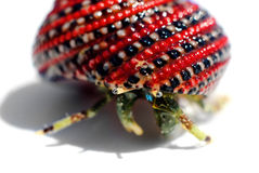 Hermit crab in beautiful red-black shell Royalty Free Stock Images