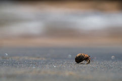 A hermit crab. On a black sand beach in Thailand Stock Photo