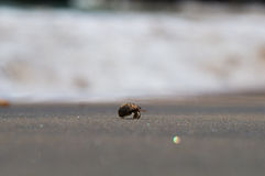 A hermit crab. On a black sand beach in Thailand Stock Photography