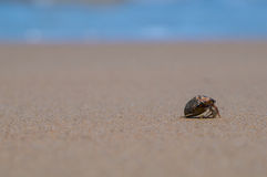 A hermit crab. On a black sand beach in Thailand Royalty Free Stock Images