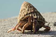 Hermit Crab - Bonaire Stock Photo