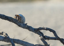 Hermit crab on a branch Stock Image