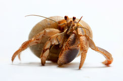 Hermit Crab from Caribbean Sea Stock Photography