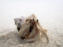 Hermit Crab Close Up. Common hermit crab on the sandy beach stock image