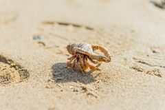 Hermit crab. A close up look of a hermit crab walking in front of the footprint on the sand at the beach stock photos