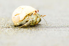 Hermit Crab Close Up Royalty Free Stock Photo