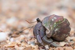 Free Hermit Crab Closeup, Bako National Park, Borneo Royalty Free Stock Photos - 73126518