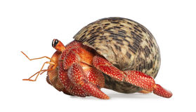 Hermit Crab - Coenobita Perlatus Royalty Free Stock Images