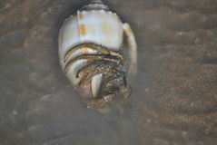 Hermit Crab. Coming out of its shell on an Australian beach Stock Photos