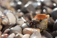 Hermit crab crawling on the beach. Gravels Royalty Free Stock Photography