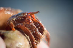 Hermit crab crawling on the beach gravels. Nice little Hermit crab crawling on Royalty Free Stock Photo