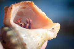 Hermit crab crawling on the beach gravels. Nice little Hermit crab crawling on Stock Photos