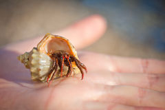 Hermit crab crawling on hand Royalty Free Stock Photo