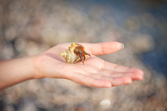 Hermit crab crawling on hand Stock Images