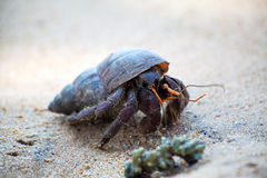 A  hermit crab crawls in the sand of the beach Royalty Free Stock Photo