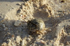 The hermit crab Royalty Free Stock Photos