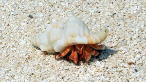Hermit crab. Cute hermit crab walking along the beach Royalty Free Stock Image