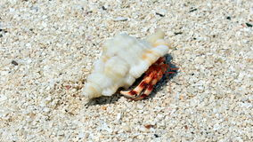 Hermit crab. Cute hermit crab walking along the beach Stock Photography