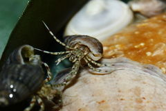 Hermit crab (Diogenes pugilator) Royalty Free Stock Photo